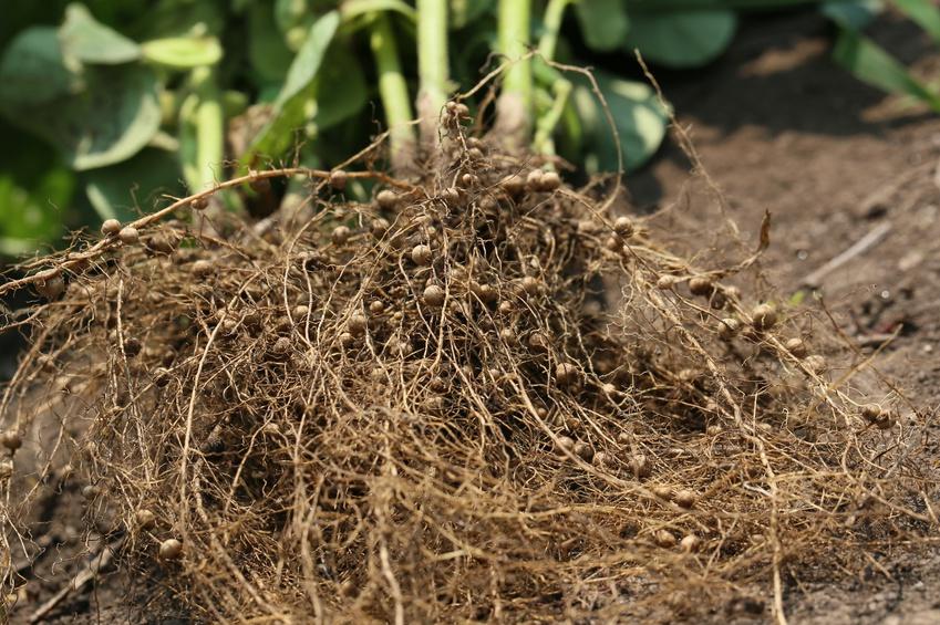 Leguminosen, wie Sojabohnen, gehen eine Symbiose mit bestimmten Bodenbakterien ein, den Rhizobien oder Knöllchenbakterien genannt. Durch die Symbiose sind Rhizobien in der Lage, elementaren Stickstoff aus der Luft zu fixieren - etwas wozu Pflanzen und Rhizobien allein nicht fähig sind.