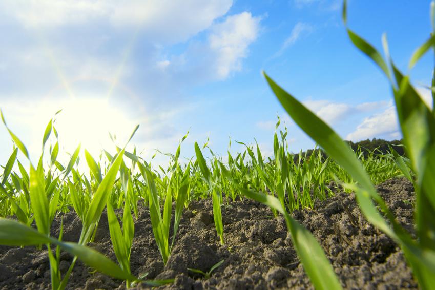 Junger Weizen. (Bildquelle: © bluedesign - Fotolia.com)