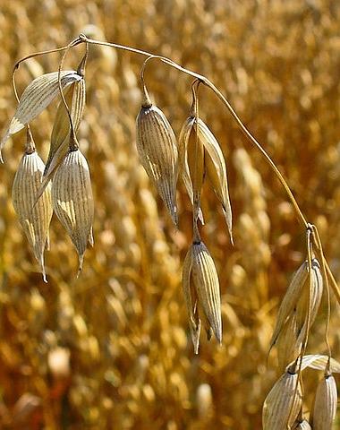 Der Erreger verursacht auch in Hafer schwere Ernteverluste (Quelle: © H. Zell / wikipedia.de; CC BY-SA 3.0)