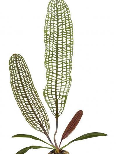 Modell für die Forschung: die Madagaskar-Gitterpflanze (Quelle: © Adrian Dauphinee)