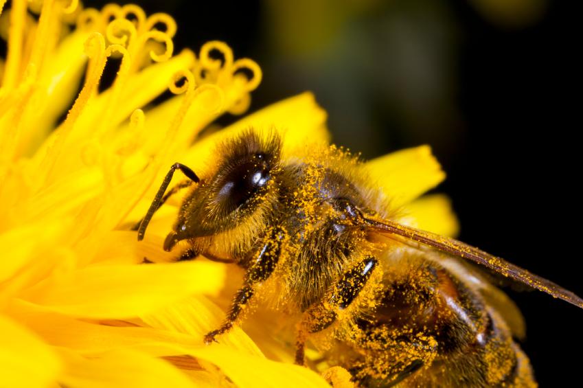 Die meisten Löwenzahnpflanzen sind auf Bestäubung angewiesen, aber auch hier gibt es Apomikten, die von Bienen unabhängig sind.