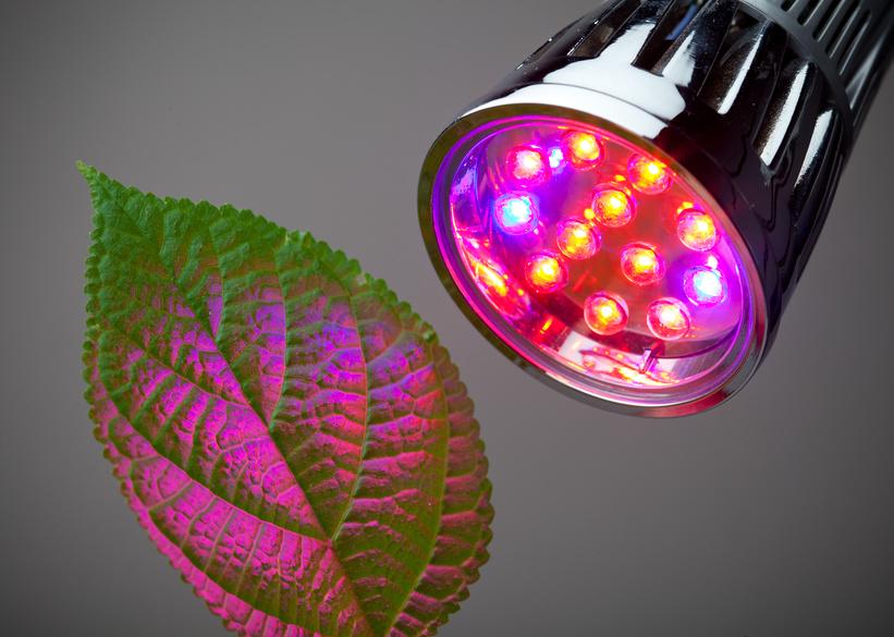 Rotes Licht (660 nm) und blaues Licht (470 nm) sind für die Photosynthese besonders wichtig. Denn diese Spektren regen die beiden Photosysteme am optimalsten an. Wissenschaftler konnte zeigen, dass das gleiche Spektrum auch die Anreicherung und die Produktion von Aromastoffen in der Teepflanze Camellia sinensis fördert.