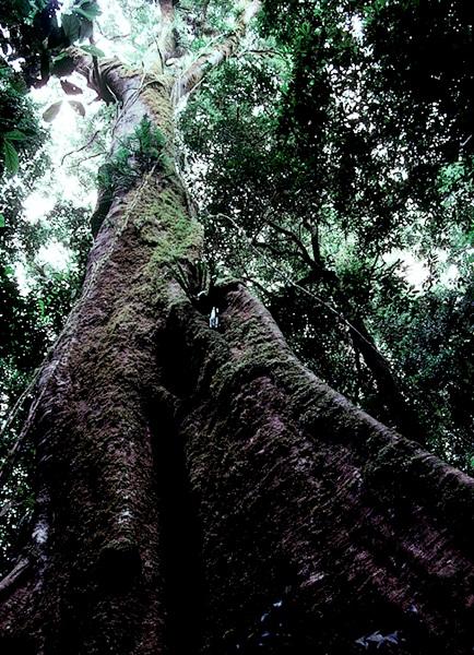 Viele große Bäume bieten einer Vielzahl anderer Pflanzen und Tiere einen Lebensraum. Dieser Baum im Regenwald von Australien ist behängt mit Lianen und bewachsen mit Orchideen, Farnen und Moosen.