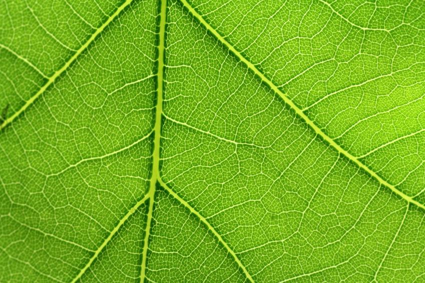 Die räumliche Struktur der Blattadern ist entscheidend, ob Blättern gut oder weniger gut mit Trockenstress umgehen können. (Bildquelle: © Schlierner / Fotolia.com)