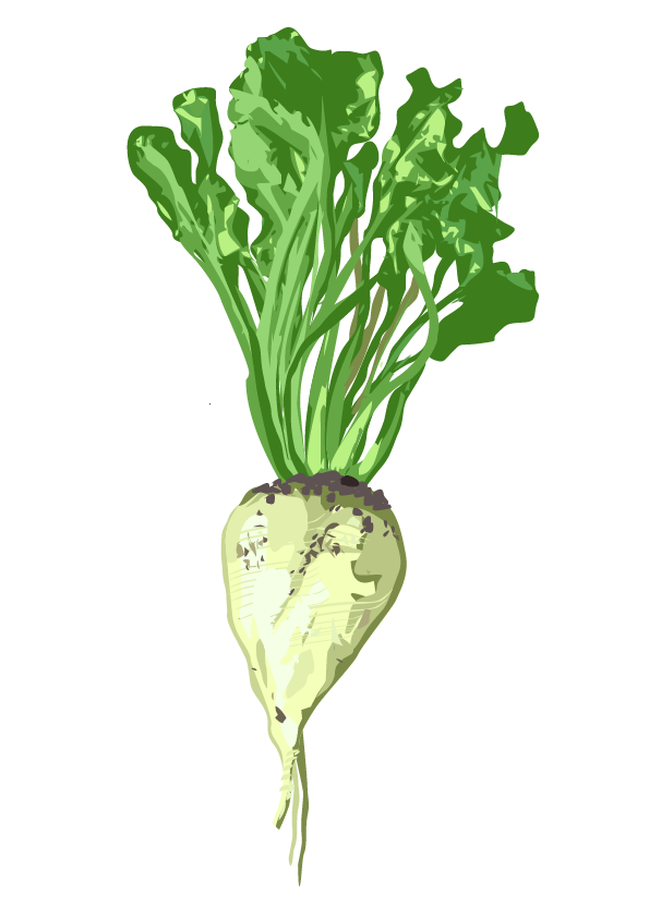 Zuckerrübe – Beta vulgaris