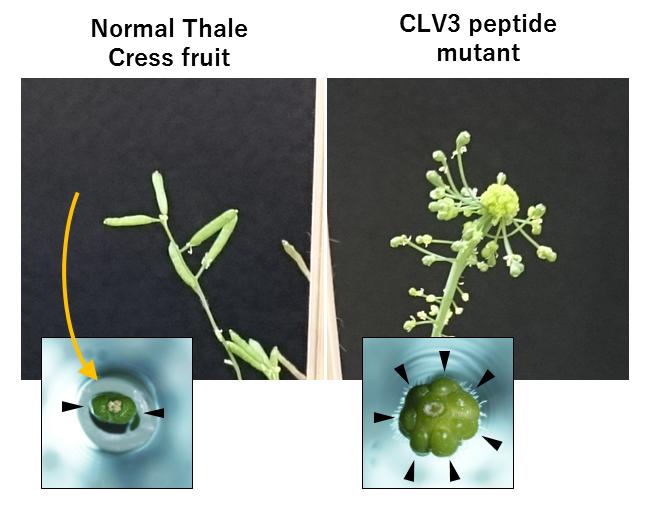 Arabidopsis-Mutanten, denen das CLV3-Peptid fehlt (rechts), bilden mehr Fruchtgewebe aus.