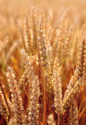Landwirtschaftlich genutzte Pflanzen müssen veränderten klimatischen Bedingungen züchterisch angepasst werden (Quelle: © iStockphoto.com/ Simon Lawrence)