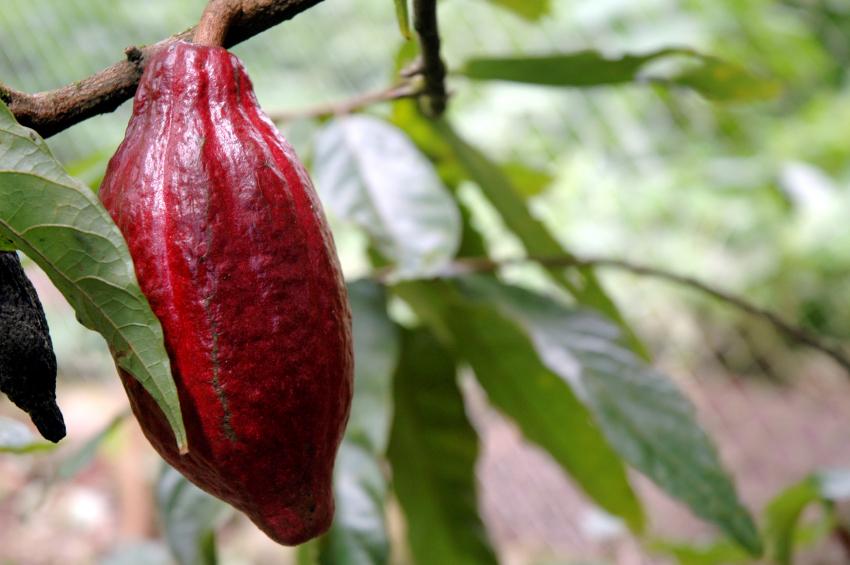 Die Kakao-Sorte CCN 51 bildet rote Kakaobohnen aus, hat hohe Erträge, allerdings lässt der Geschmack zu wünschen übrig. Ziel der Züchtung an Kakaobäumen ist es, die Produktivität zu steigern und gleichzeitig die Qualität der Kakaobohnen zu verbessern.