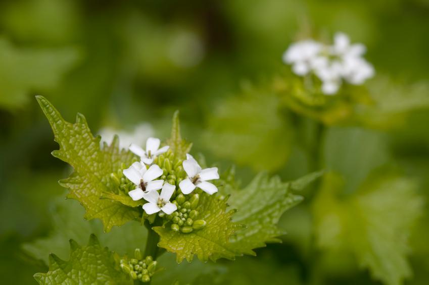 Die Knoblauchsrauke ist jetzt offiziell die älteste Gewürzpflanze Europas. Ihre Samen gaben schon vor 6000 Jahren Speisen den richtigen Pfiff. Heute ist die Pflanze in Vergessenheit geraten. (Quelle: © iStockphoto.com/ Mantonature)