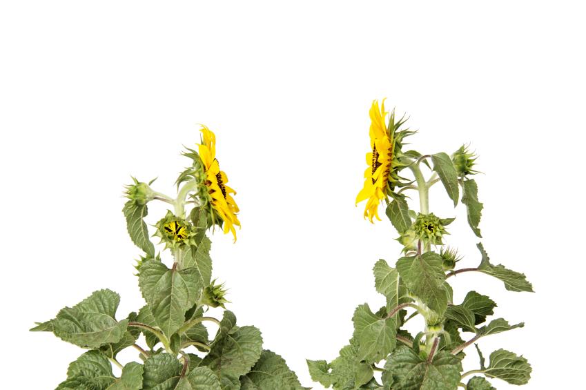 Pflanzen sind keine stummen Lebewesen. Sie kommunizieren über viele Wege und greifen dabei auch auf natürliche Netzwerke zurück. (Quelle: © iStockphoto.com/lucato)