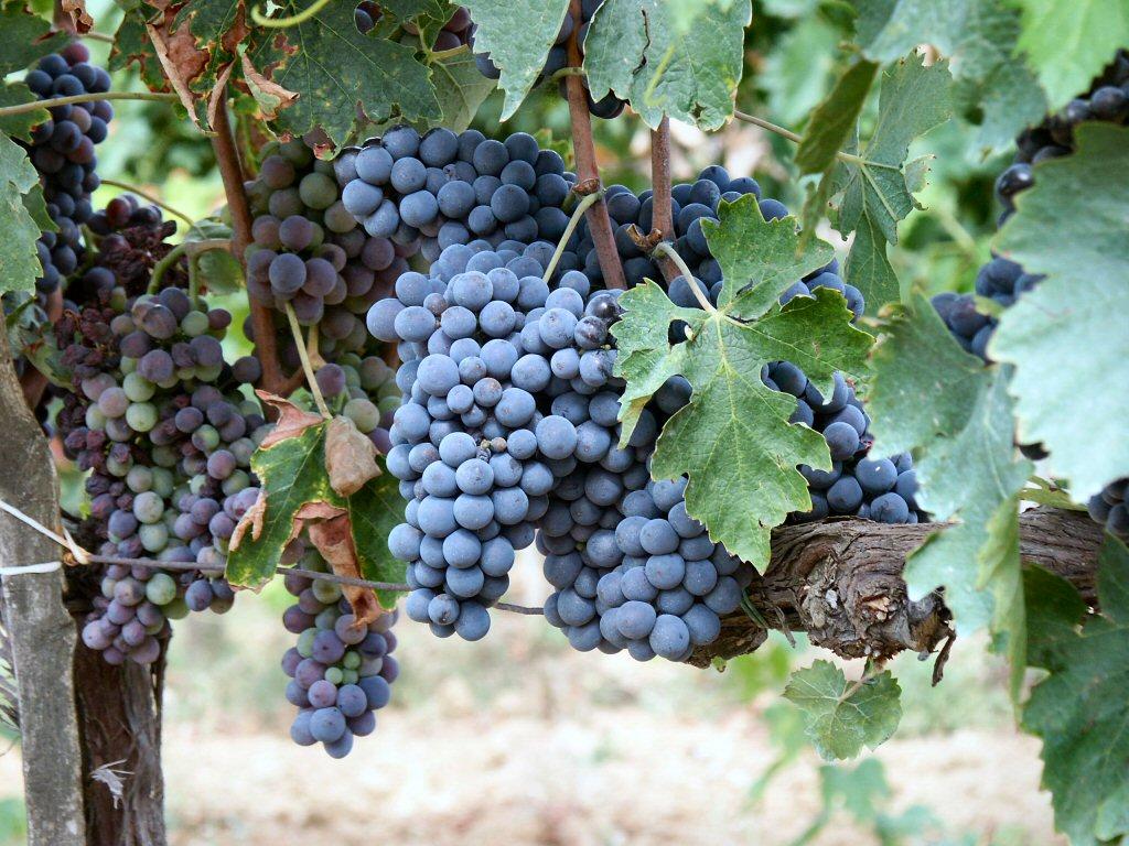 Mit fast 300.000 Hektar Anbaufläche ist die Rebsorte Cabernet Sauvignon eine der gefragtesten Sorten der Welt.