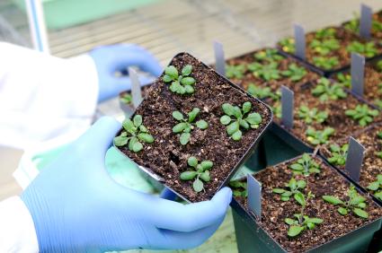 Ungeschlechtliche Vermehrung von Arabidopsis gelungen.