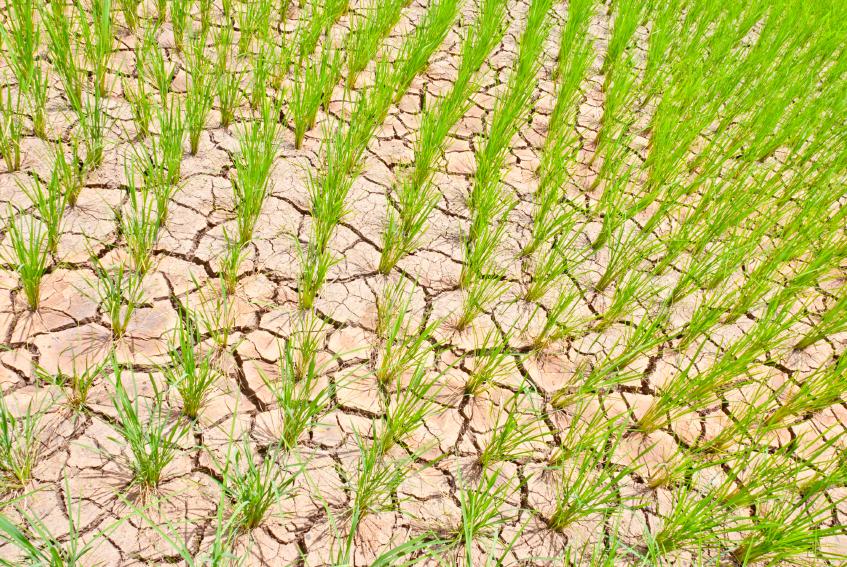 Trockenheit ist für Reispflanzen hart, denn sie sind besonders anfällig für Trockenstress.
