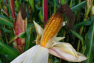 Die Computersimulation hat berechnet, dass der Wachstumszyklus von Mais im Jahr 2100 in Deutschland infolge des Klimawandels rund 23 Tage früher einsetzen könnte.