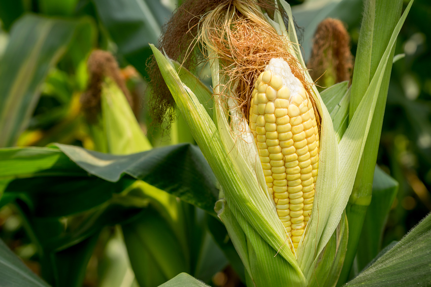 Auf Maisfeldern wachsen fast immer Hybridsorten, weil deren Ertrag höher ausfällt.