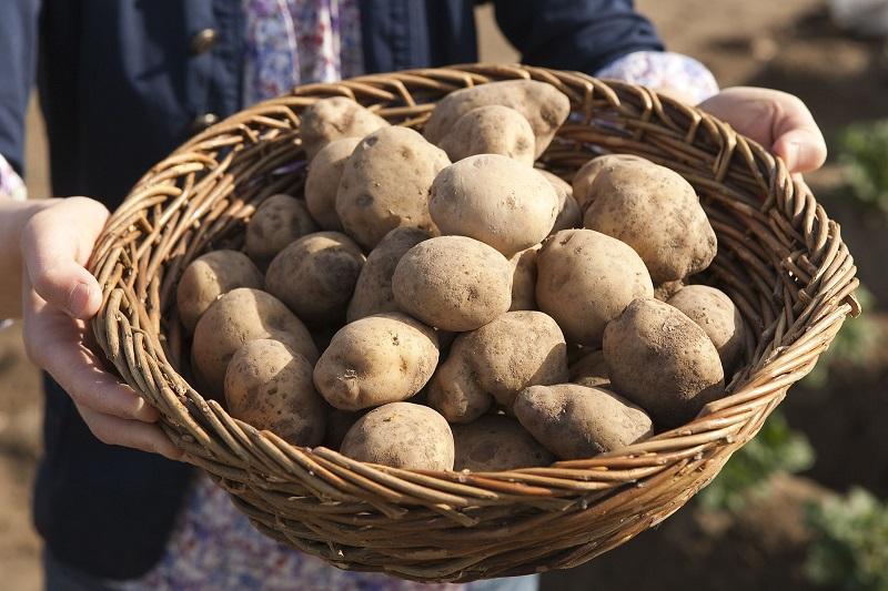 Die Amflora-Kartoffel bildet reine Amylopektin-Stärke für den technischen Gebrauch, z. B. zur Herstellung von Papier, Textilien oder Klebstoff. Vorteilhaft ist dabei, dass Amylopektin-Stärke nicht geliert.
