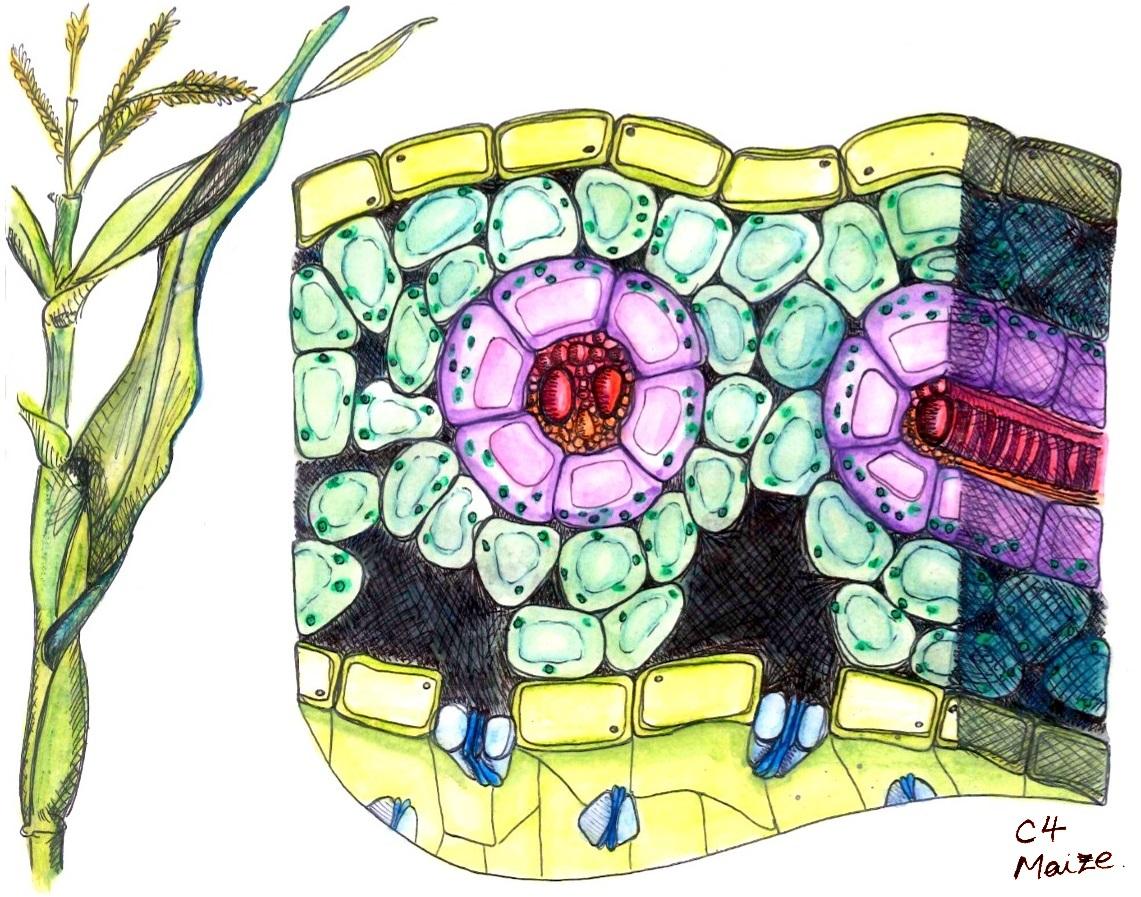 Künstlerische Zeichnung eines Blattquerschnittes aus der C4-Pflanze Mais. In rosa sind die Bündelscheidenzellen dargestellt, die von den Mesophyllzellen (türkis) umgeben sind. Auf der Blattunterseite befinden sich die Spaltöffnungen (blau). Die Leitbündel sind in Rot dargestellt.