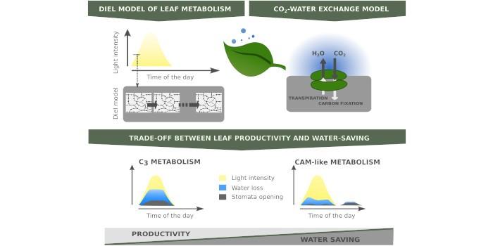 Das Modell zeigt die Wechselwirkung zwischen Blattproduktivität und Wassereinsparung.