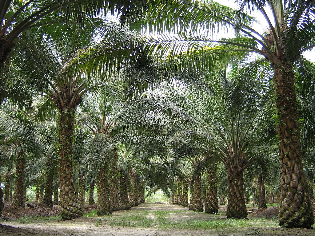 Im Rahmen eines groß angelegten Forschungsprojekts befasst sich Qaim mit den Auswirkungen des Anbaus von Ölpalmen in Indonesien u.a. auf Landnutzung, Ernährungssituation und Einkommen von Kleinbauern.