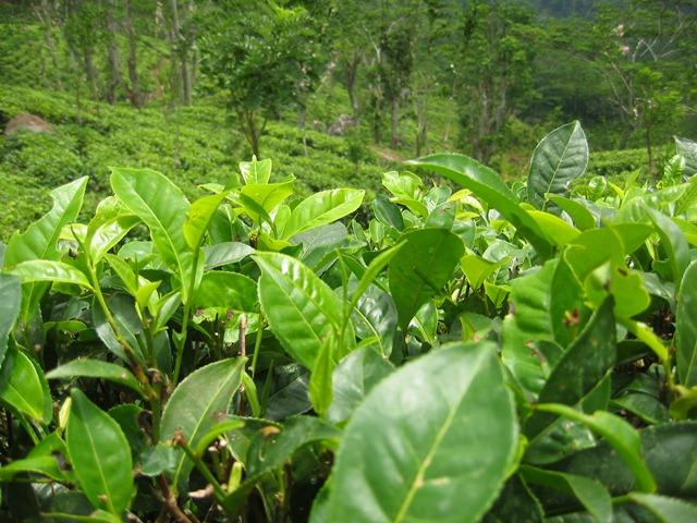 Teestrauch auf einer Plantage.