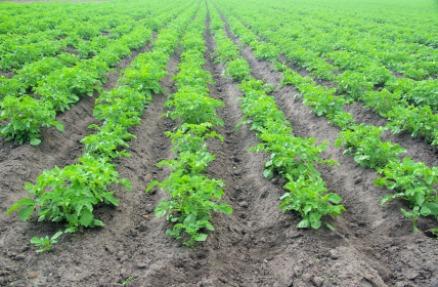 Kartoffelpflanzen sind auch heute noch anfällig für die Kraut- und Knollenfäule. Noch ist Fungizideinsatz für gesunde Pflanzen meist unumgänglich.