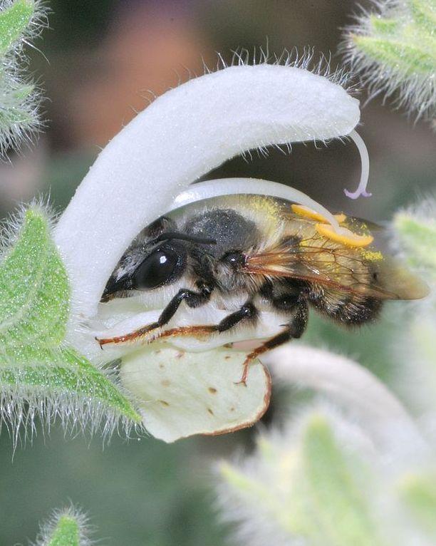 Die Schwarze Mörtelbiene (Megachile parietina) aus der Gattung der Blattschneiderbienen. (Quelle: © Gideon Pisanty / Wikimedia.org; CC BY 3.0)
