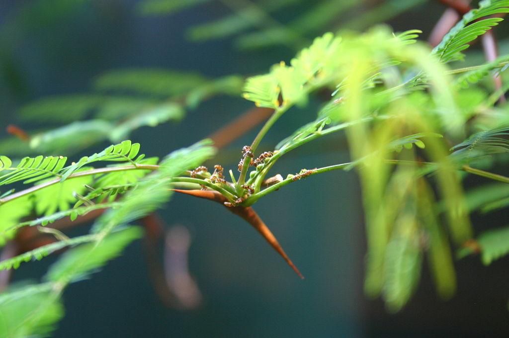 Ameisen der Art Pseudomyrmex ferrugineus ernähren sich exklusiv von dem Nektar ihres Wirts, der Akazie. Diese riskante Spezialisierung haben sie sich jedoch nicht ausgesucht- sie wurden vom Nektar abhängig. (© Ryan Somma/wikimedia.org;CC BY-SA 2.0)