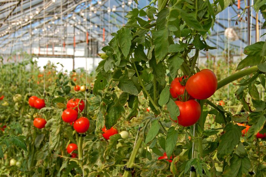 Tomaten-Anbau im Gewächshaus: Ohne Hilfe aus dem Labor lassen sich konventionelle und Bio-Tomaten oft nicht voneinander unterscheiden.