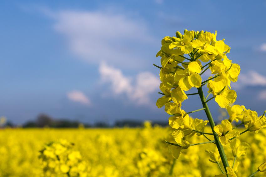 In den 90er Jahren wurden die ersten Pflanzen, die mit Hilfe der Gentechnik erzeugt wurden, zugelassen und angebaut. Weltweit konzentriert sich der Einsatz der Gentechnik hauptsächlich auf vier Kulturpflanzenarten: Mais, Soja, Baumwolle und Raps. Die Akzeptanz für den Einsatz diese Technologie ist gerade im Lebensmittel- und Futtermittel-Bereich in Europa und insbesondere in Deutschland gering.