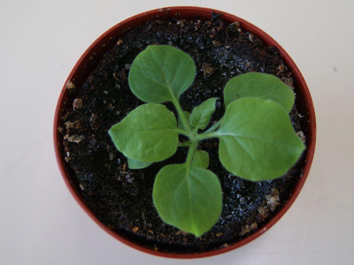 Die Tabakart Nicotiana benthamiana konnte erfolgreich zur Produktion von HIV-Antikörpern eingesetzt werden. (Bildquelle: © CC BY-SA 3.0)