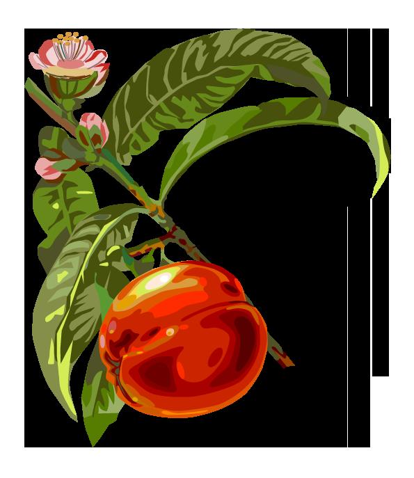 Pflanze: Pfirsich