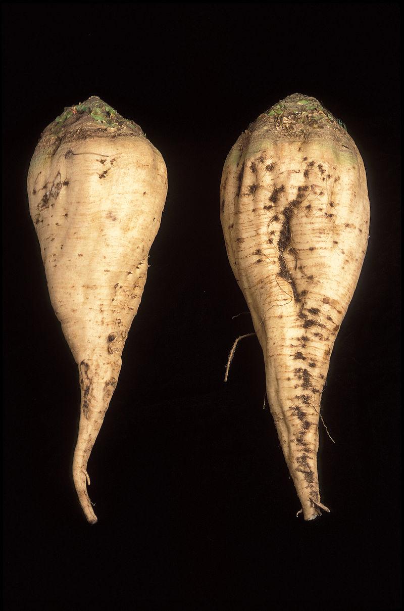 Der Zucker wird in den Vakuolen der Wurzelzellen gespeichert. Der Transporter BvTST 2.1 sorgt dafür, dass die Zuckermoleküle in die Vakuolen gelangen.