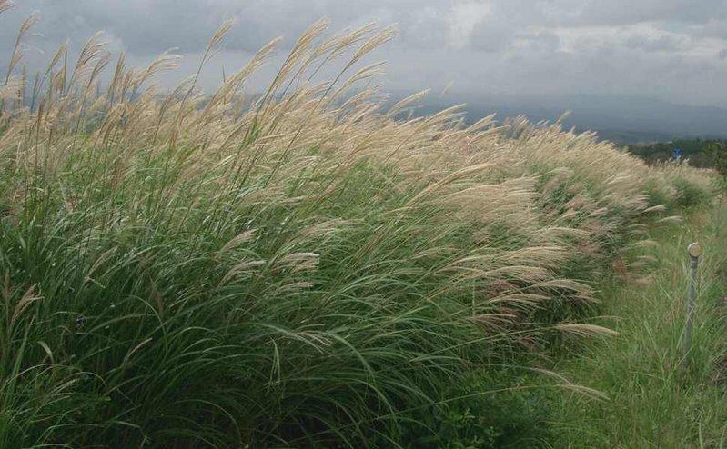 Anhand von vorverdautem Süßgras konnten Wissenschaftler zeigen, dass das Bakterium Zymomonas mobilis effektiv nicht verzehrbare Pflanzen zu Ethanol umwandeln kann, ohne dabei auf eine Ammonium-Zufuhr angewiesen zu sein.