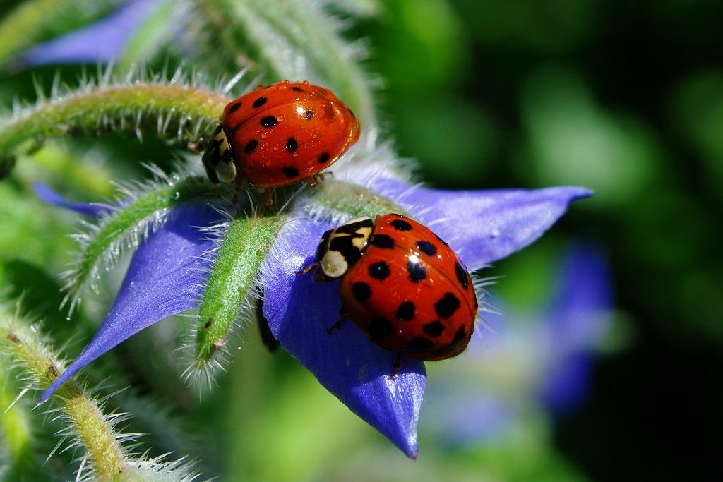 Wenn zum gemeinsamen Frühstück geladen wird, lassen Marienkäfer sich nicht zweimal bitten. Für ihren unstillbaren Heißhunger auf Schädlinge genießen sie unter vielen Pflanzen hohes Ansehen. (Bildquelle: © Peter Freitag/ pixelio.de)