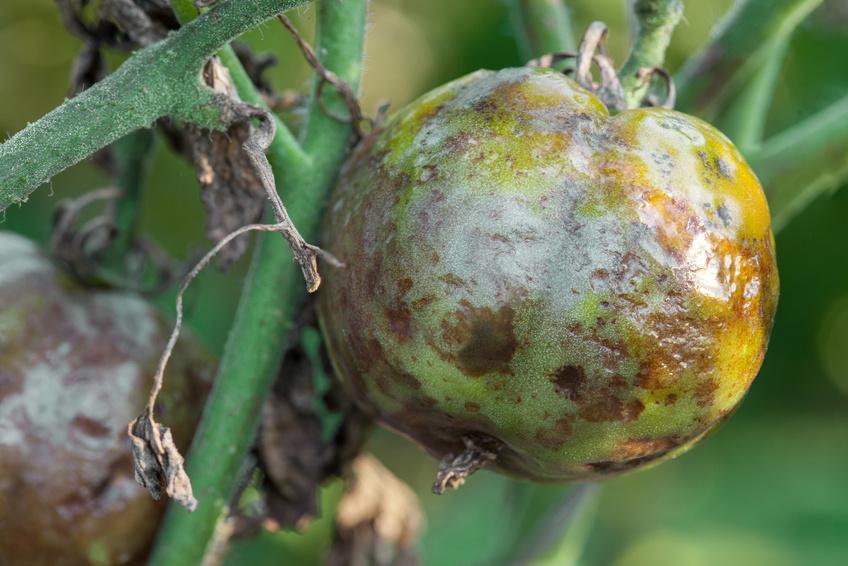 Krankheitserreger sind ein Schrecken für die Landwirtschaft - sie können für beträchtlichen Ernteeinbußen sorgen.