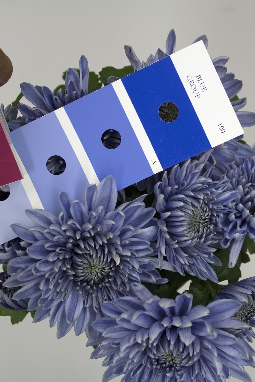 Der Vergleich mit der Farbtafel der Royal Horticultural Society bestätigt es. Die Blüten der Chrysanthemen sind offiziell blau.