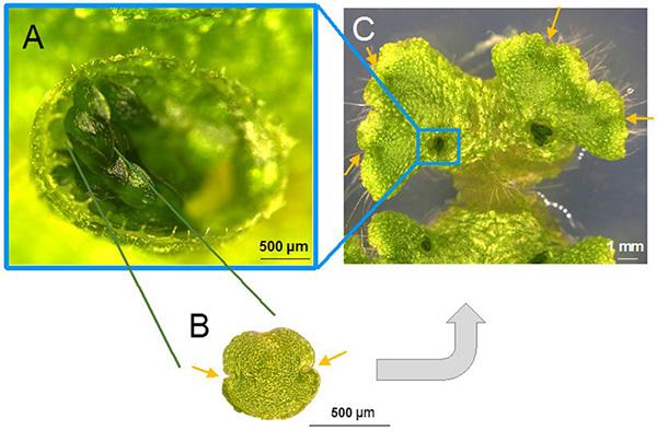 Vegetative Vermehrung klonaler Nachkommen beim Brunnenlebermoos. A: Ein Brunnenlebermoos-Brutbecher. B. Vergrößertes Bild des Brutkörpers. Es gibt Meristeme auf beiden Seiten (wie durch die Pfeile angezeigt), die Stammzellen enthalten. C. Foto des Brutkörper-Wachstums auf der Oberfläche der Pflanze.