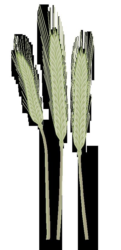 Pflanze: Roggen