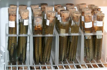 In Genbanken lagern Forscher Samen und Gene von Pflanzensorten und -arten.