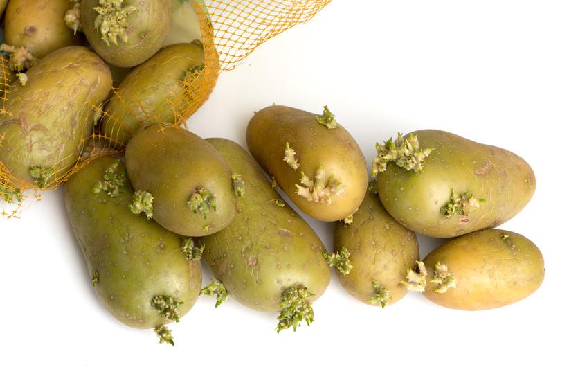 Glykoalkaloide befinden sich z.B. in grün geworden Kartoffeln und in den Keimen, die sich aus den Knollen entwickeln. (Quelle: © von Lieres / Fotolia.com)