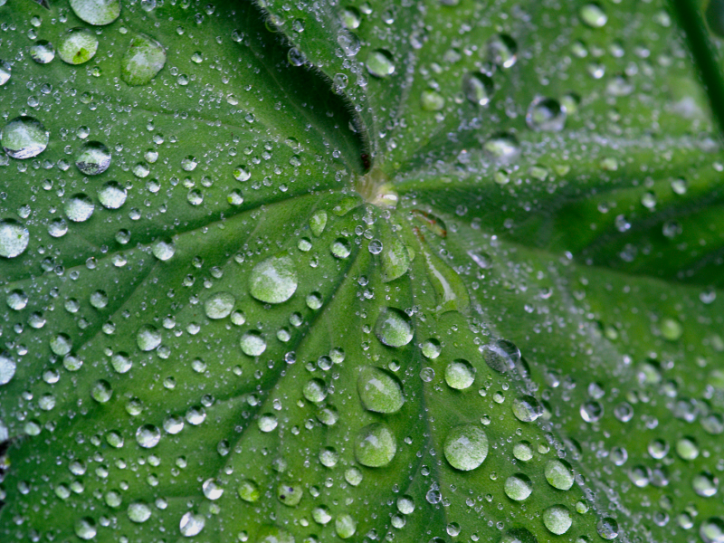 Die wachsartige und wasserabweisende Cuticula schützt Pflanzen nicht nur vor Wasserverlust, sondern begünstigt auch den Abperl- bzw. Lotuseffekt, der der Selbstreinigung dient.