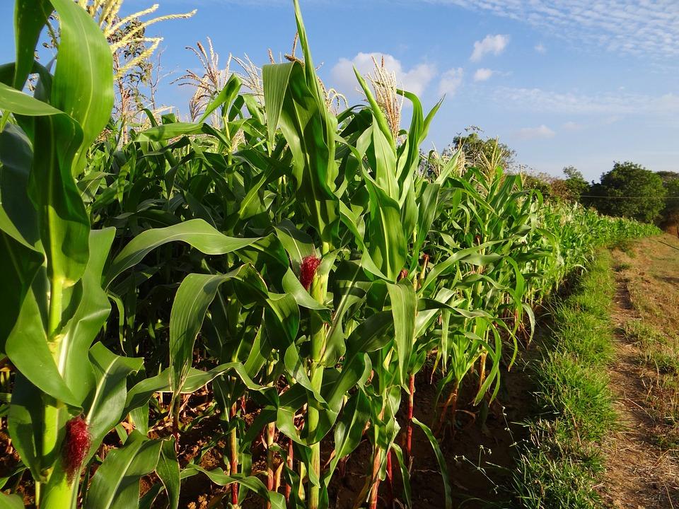 Das Protein ZmMAC1 beeinflusst die Entwicklung der Blütenstände bei Mais.