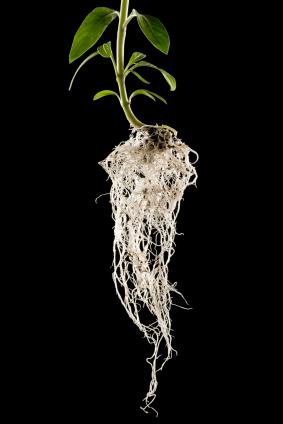 Die Wurzelarchitektur ist entscheidend für die Wasser- und Nährstoffaufnahme. (Quelle: © iStockphoto.com/ Dale Smith)