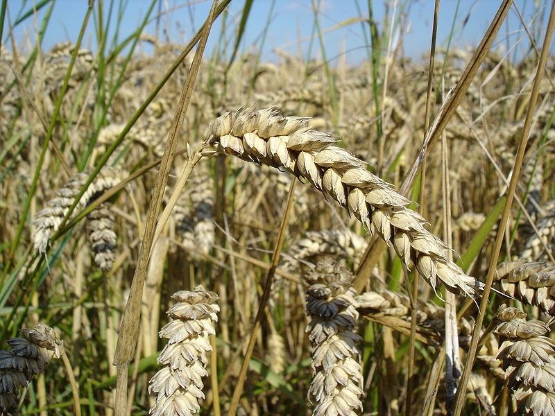 Gluten ist nicht nur in Weizen und Gerste enthalten, sondern auch in Roggen, Hafer, Dinkel und Grünkern.