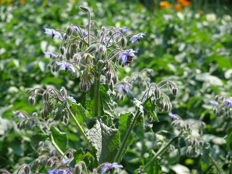 Borretsch (Borago officinalis) wird als Heil- und Gewürzpflanze genutzt. Forscher haben nun hohe Konzentration des Giftstoffes Pyrrolizidinalkaloide in der beliebten Küchenpflanzen gefunden. (Quelle: © TwilightArtPictures-Fotolia.com)