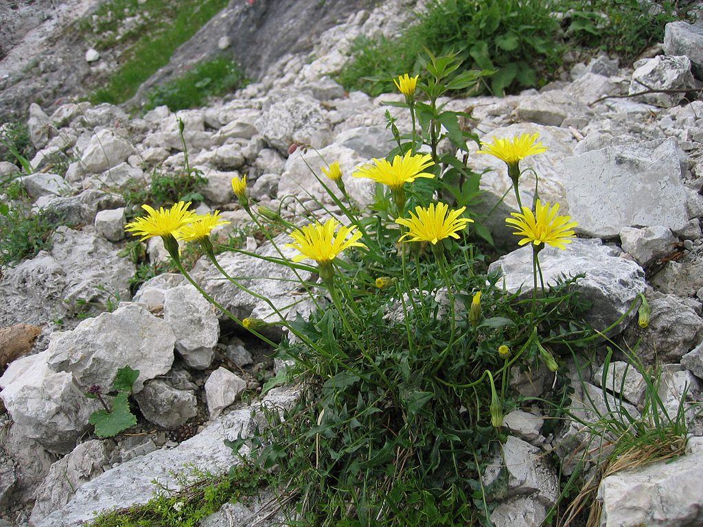 Die Studie betrachtete alpine Pflanzenarten, wie den Steifhaarigen Löwenzahn (Leontodon hispidus). (Quelle: © Tigerente/wikimedia.org; CC BY-SA 3.0)