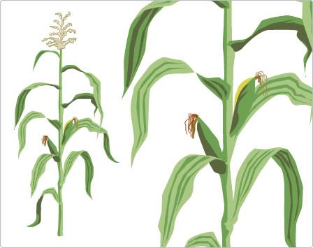 Mehr Informationen zu Mais unter:Zea mays