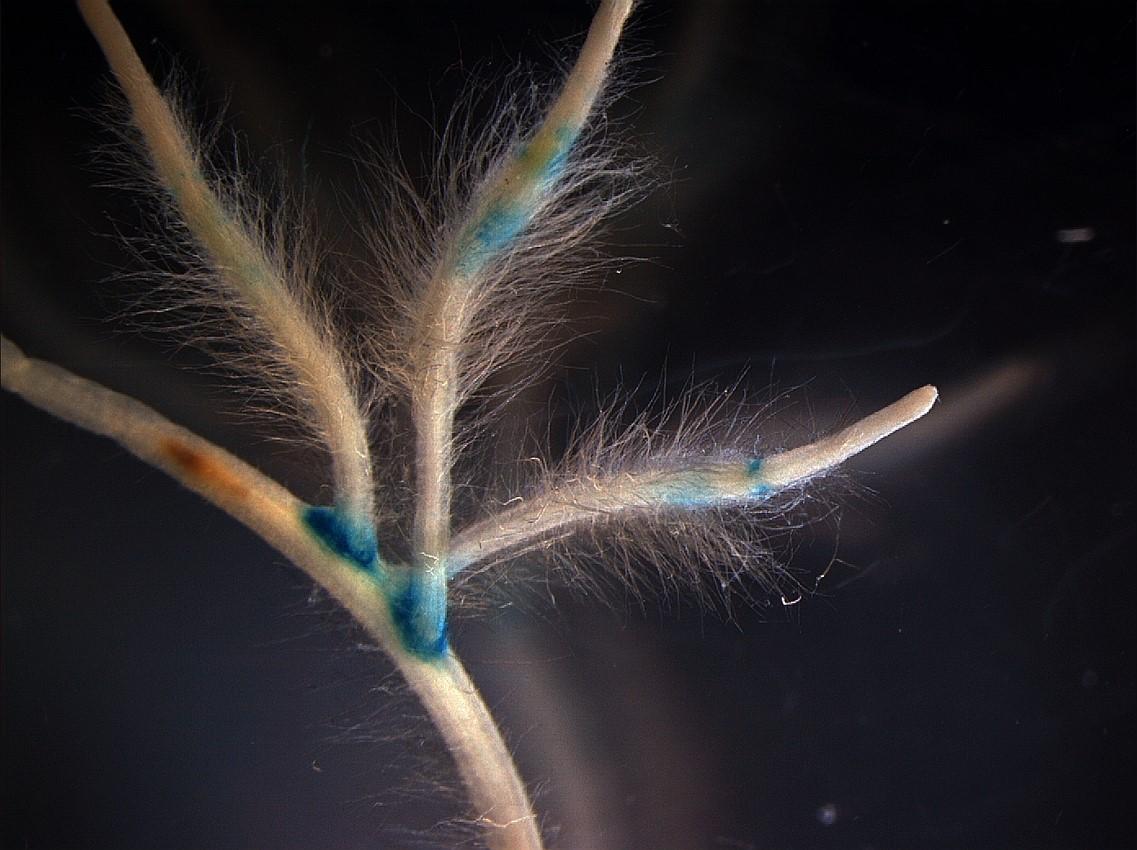 Pflanzenwurzel befallen mit unterschiedlichen Mikroorganismen. (Bildquelle: © J. Imani)