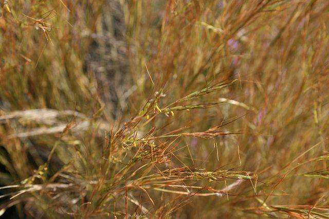 Alle unsere modernen, ertragreichen Kulturpflanzen hatten wilde Vorfahren. Aus Wildgräsern der Gattung Aegilops (Bild) züchtete der Mensch über Jahrtausende den heutigen Weizen. © Sten Porse/Wikimedia.org/CC BY-SA 3.0