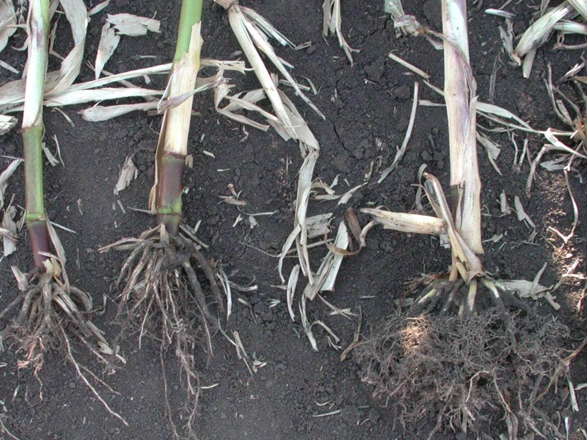 Geschädigte Maiswurzeln neben einer gesunden Wurzel (Quelle: © Mihaly Czepo /pflanzenforschung.de/biosicherheit).